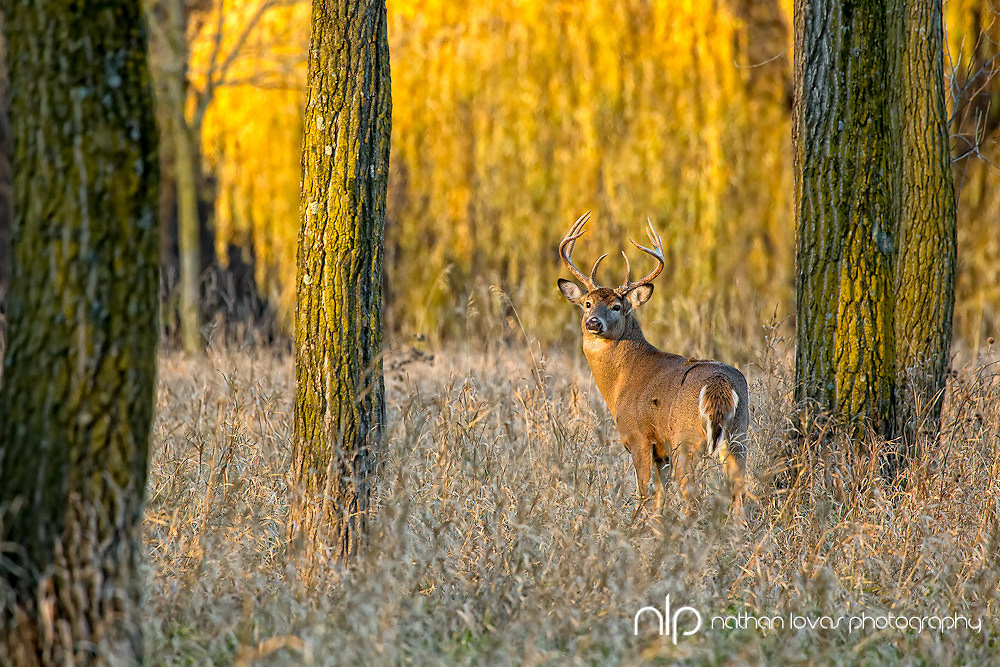 White-tailed deer buck  standing in field with yellow trees;  Minnesota in wild.