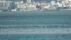 Wellington-Pod of dolphins in harbour