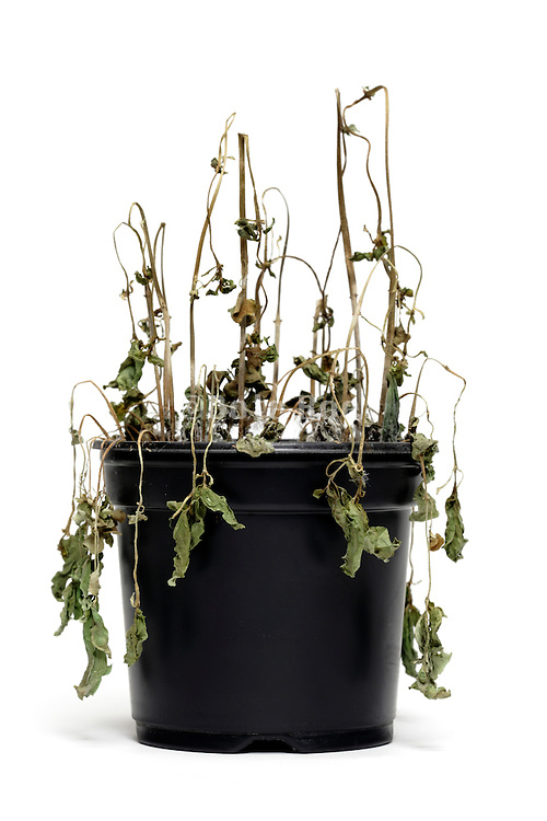 dying potted plant