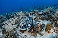 Hawksbill sea turtle-Tortue imbriquée (Eretmochelys imbricata), Red Sea, Sudan.