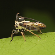 Treehoppers and thorn bugs are members of the family Membracidae, a group of insects related to the cicadas and the leafhoppers.