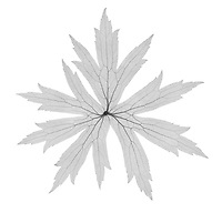 X-ray image of a Canada anemone leaf (Anemone canadensis, black on white) by Jim Wehtje, specialist in x-ray art and design images.