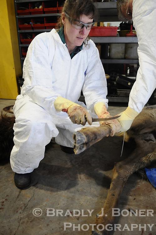 Necropsy of elk at the National Elk Refuge