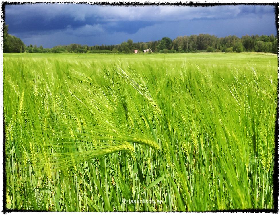 Closeup of crop. Field, agriculture, rural.