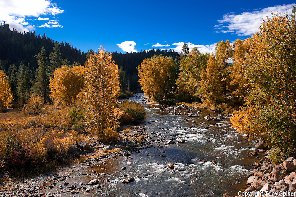 """""""Fall Along the Truckee River 1"""" - A photograph of fall Aspen trees near their peak along the Truckee River."""