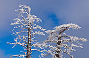 Rime ice on pine tree, San Bernardino National Forest, California