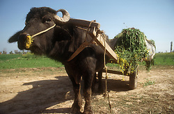 Buffalo pulling cart laden with a mustard like crop used for animal feed,