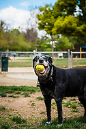 Old dog at the dog park holding a ball in his mouth.