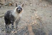 Brown hyena (Parahyaena brunnea oder Hyaena brunnea), pup outside their den, 8 month old, Tsau-ǁKhaeb-(Sperrgebiet)-Nationalpark, Namibia | Schabrackenhyäne (Parahyaena brunnea oder Hyaena brunnea), am Bau, die jungtiere sind 8 Monate alt, werden abber immernoch von der Mutter gesäugt. Sperrgebiet National Park, Namibia
