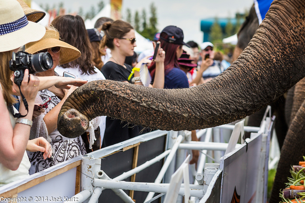 "28 AUGUST 2014 - BANGKOK, THAILAND:     A spectator reaches out to touch an elephant's trunk during the lunch time fruit buffet at the King's Cup Elephant Polo Tournament at VR Sports Club in Samut Prakan on the outskirts of Bangkok, Thailand. The tournament's primary sponsor in Anantara Resorts. This is the 13th year for the King's Cup Elephant Polo Tournament. The sport of elephant polo started in Nepal in 1982. Proceeds from the King's Cup tournament goes to help rehabilitate elephants rescued from abuse. Each team has three players and three elephants. Matches take place on a pitch (field) 80 meters by 48 meters using standard polo balls. The game is divided into two 7 minute ""chukkas"" or halves.  PHOTO BY JACK KURTZ"
