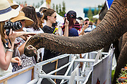 """28 AUGUST 2014 - BANGKOK, THAILAND:     A spectator reaches out to touch an elephant's trunk during the lunch time fruit buffet at the King's Cup Elephant Polo Tournament at VR Sports Club in Samut Prakan on the outskirts of Bangkok, Thailand. The tournament's primary sponsor in Anantara Resorts. This is the 13th year for the King's Cup Elephant Polo Tournament. The sport of elephant polo started in Nepal in 1982. Proceeds from the King's Cup tournament goes to help rehabilitate elephants rescued from abuse. Each team has three players and three elephants. Matches take place on a pitch (field) 80 meters by 48 meters using standard polo balls. The game is divided into two 7 minute """"chukkas"""" or halves.  PHOTO BY JACK KURTZ"""