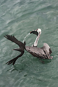 Brown Pelican (Pelecanus occidentalis urinator) &  Brown Noddy (Anous stolidus galapagensis)<br /> Puerto Ayora, Santa Cruz Island, GALAPAGOS ISLANDS<br /> ECUADOR.  South America<br /> The noddys have learnt to sit on the heads of the pelicans and scoop up small fish that leak out of the pelicans bill pouch.