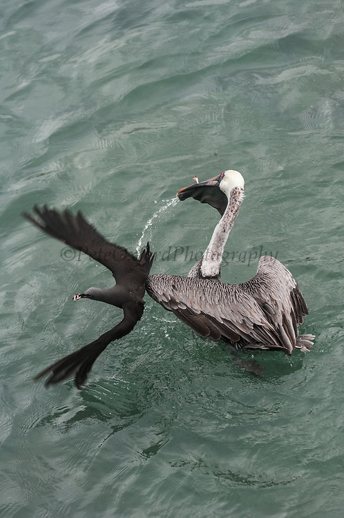 Brown Pelican (Pelecanus occidentalis urinator) &amp;  Brown Noddy (Anous stolidus galapagensis)<br /> Puerto Ayora, Santa Cruz Island, GALAPAGOS ISLANDS<br /> ECUADOR.  South America<br /> The noddys have learnt to sit on the heads of the pelicans and scoop up small fish that leak out of the pelicans bill pouch.