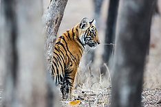 Bengal Tigers of India