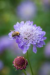 Scabiosa atropurpurea 'Blue Cushion'. Scabious with bee