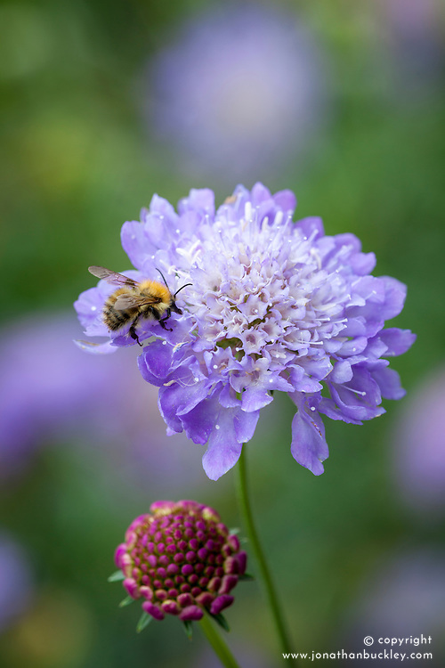 Scabiosa atropurpurea 'Blue Cushion'. Scabious with bee
