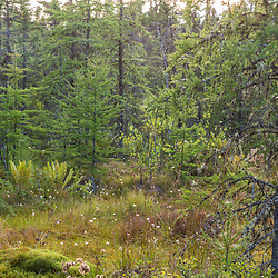 Cotton grass and larch trees in a bog in the Reed Plantation in Reed, Maine.