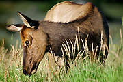 A female elk grazes in the late afternoon light at Rocky Mountain National Park on Thursday August 18, 2005. The park, open since 1915, is a showcase of the grandeur of the Rocky Mountains and features peaks ranging from 8,000 to 14,259 feet tall and is home to elk, mule deer, bighorn sheep, black bears, coyotes and a wide range of birds, fish and smaller animals. Large numbers of elk in the park have raised concerns over the overgrazing of native species of plants in the park allowing more invasive species to take over in their place..(MARC PISCOTTY / © 2005)