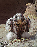 Nestling peregrine falcon, 31 days old, sitting back in a resting position, seems to be looking directly at the motion-activated camera that captured this image.  This individual still shows abundant down on its legs and upper wing surfaces, and the large feet are evident, characteristic of the species. © 2013 David A. Ponton, [photo by motion-activated camera, low-resolution limits repro. size]
