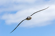 A Black-browed Albatross (Thalassarche melanophrys) in flight woth out stretched wings, Falkland Islands