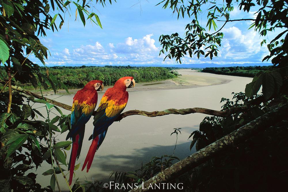 Scarlet macaws overlooking Tambopata River, Ara macao, Tambopata National Reserve, Peru