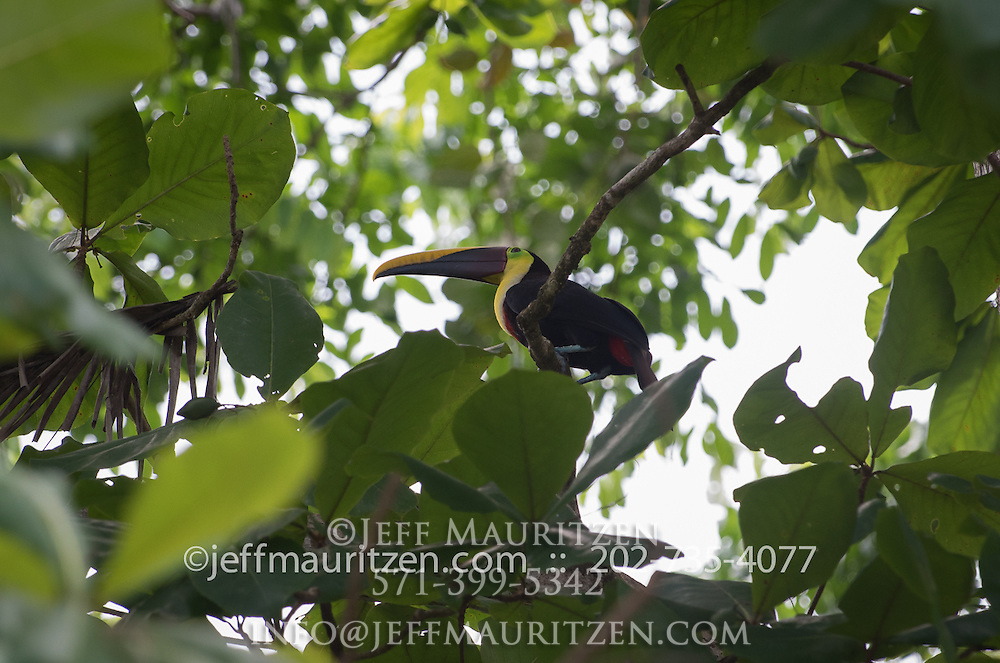 A Chestnut-mandibled toucan rests in the canopy of Osa Peninsula.