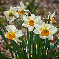20200420-daffodil