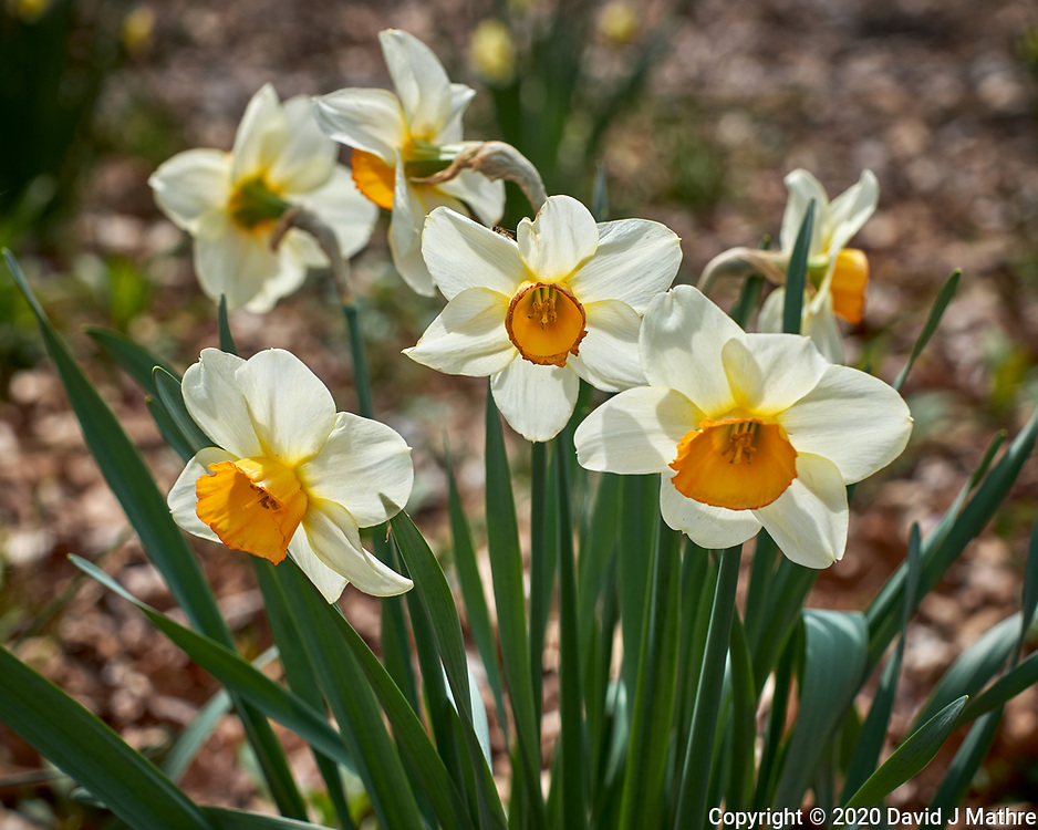 Fancy Daffodil flowers.  Image taken with a Leica CL camera and 60 mm f/2.8 lens (ISO 100, 60 mm, f/4.5, 1/500 sec).