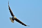 Bald Eagle (Haliaeetus leucocephalus) in flight<br /> Ear Falls<br /> Ontario<br /> Canada