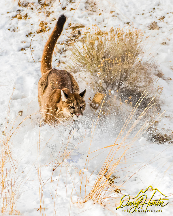 Running Cougar, wildlife action in Jackson Hole Wyoming