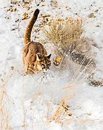 Running Cougar, wildlife action in Jackson Hole Wyoming
