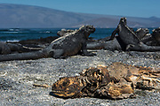 Marine Iguanas (Amblyrhynchus cristatus) <br /> Fernandina Island<br /> Galapagos<br /> Ecuador, South America<br /> ENDEMIC TO THE ISLANDS