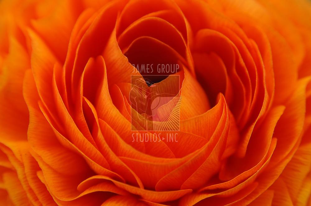Close-up of a flaming orange renuncula flower