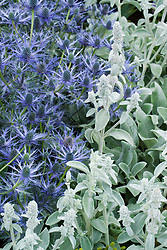 Contrasting textures of Eryngium x zabelii with Stachys byzantina