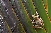 Gladiator Tree Frog (Hyla rosenbergi)<br /> Cayapas Reserve<br /> North West Ecuador & Colombia<br /> South America