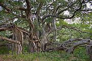 Ancient 700-year-old Banyan Tree in Ranthambhore National Park, Rajasthan, India