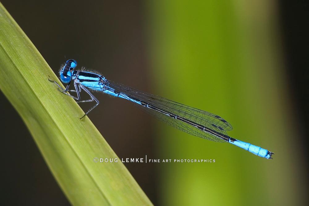 Damselfly, Azure Bluet, Enallagma aspersum, Clinging To A Large Blade Of Grass
