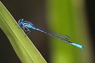 Damselfly, Azure Bluet, Enallagma aspersum, Clinging To A Large Blade Of Grass