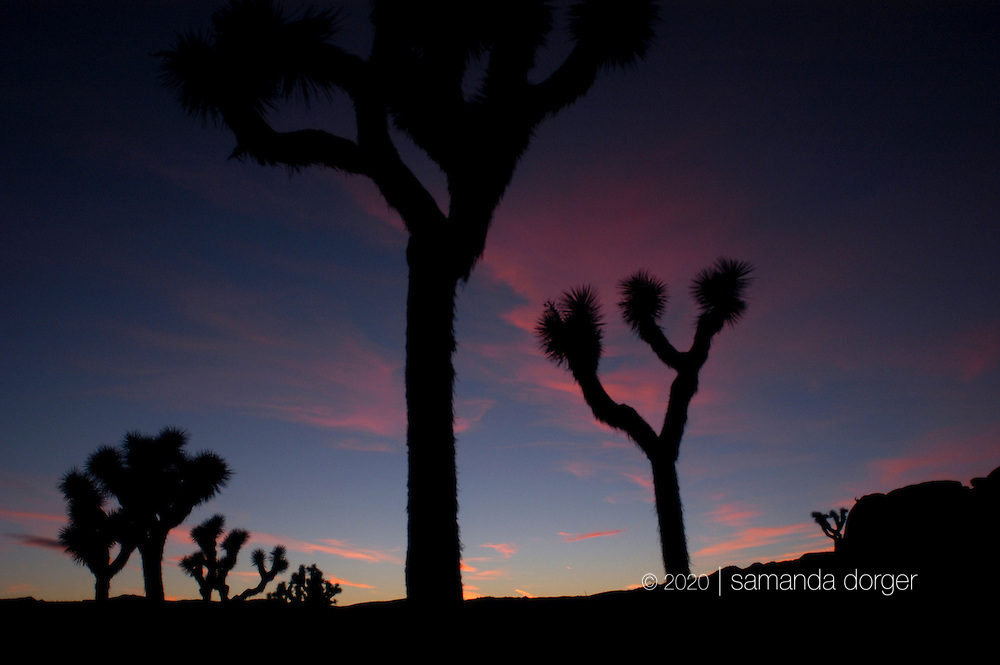 Joshua Trees at Joshua Tree National Park, California, USA