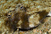 Unidentified left-eye flounder in Lembeh Strait, Indonesia