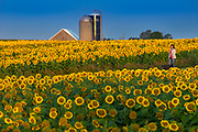 Judy Roemer and her dog Chica walk through sunflower fields at Bergsbaken Farms near Cecil, Wisconsin.  Photo by Mike Roemer