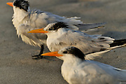Dawn Patrol - Three Royal Tern on the Beach at Cocoa Beach Florida