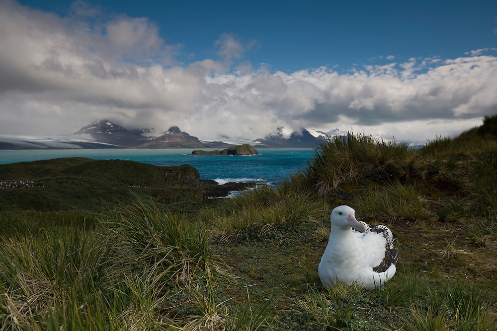 Antarctica, South Georgia Island (UK), Wandering Albatross (Diomedea exulans) resting on ground on Prion Island with mountains of South Georgia Island in distance
