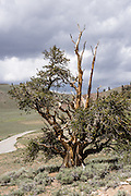 A Great Basin bristlecone pine (Pinus longaeva) stands proudly in Schulman Grove, Ancient Bristlecone Pine Forest, Inyo National Forest, White Mountains, near Big Pine, California, USA. The world's oldest known living non-clonal organism was found here in 2013 -- a bristlecone pine 5064 years old, germinated in 3051 BC. It beat the previous record set by the famous nearby 4847-year-old Methuselah Tree sampled around 1957. Starting from the visitor center at 9846 feet, we hiked the Cabin Trail loop, returning along Methuselah Grove Trail (highly recommended, to visit the world's oldest living trees), with views eastward over Nevada's basin-and-range region. An important dendrochronology, based on these trees and dead bristlecone pine samples, extends back to about 9000 BC (with a single gap of about 500 years).