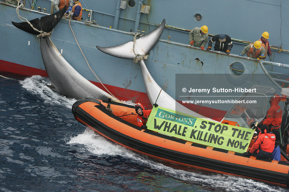 "Greenpeace activists hold up a banner reading ""Gortons: Stop the whale killing now"""" beside two minke whales which have just been harpooned and killed by the Kyo Maru No.1 catcher ship of the Japanese whaling fleet. Southern Ocean.  13.01.2006"