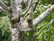 Three-toed Sloth, blending in well with the tree at Manuel Antonio National Park, Costa Rica.