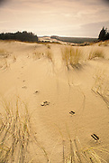 Sand dunes and beach grass wtih deer tracks; Oregon Dunes National Recreation Area, Oregon coast.