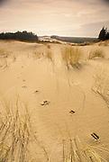Sand dunes and beach grass wtih deer tracks; Oregon Dunes National Recreation Area, Oregon coast.