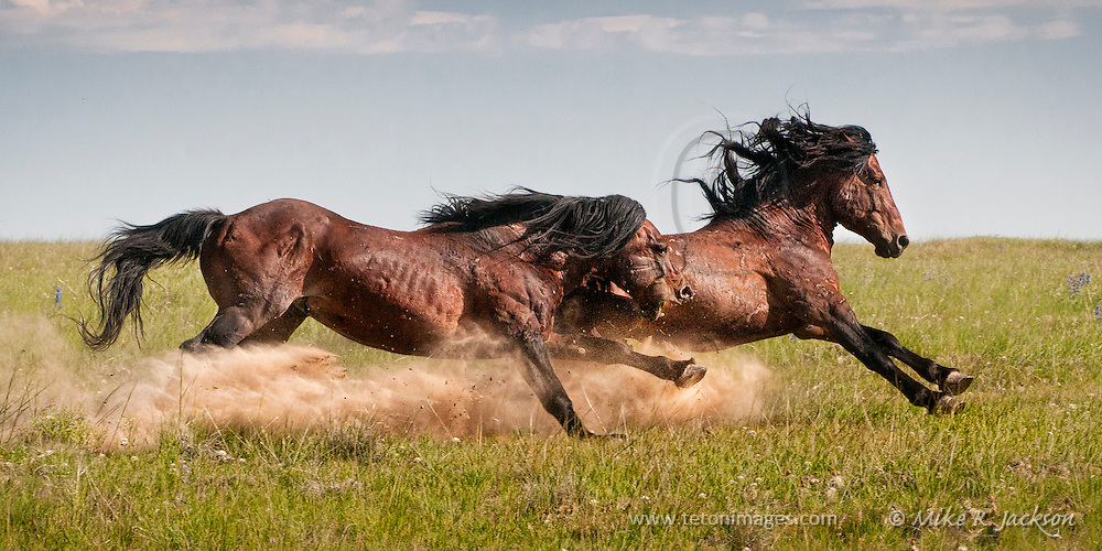 Action packed image of a wild stallion chasing a younger stallion away from his band of mares in northern Wyoming.