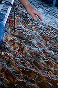 Israel, Kibbutz Maagan Michael, Koi (brocaded carp, Cyprinus carpiobreeding) pool at the Fishery